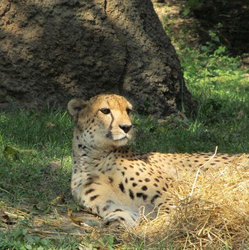 Gepardas, poilsio, kačių, didelis & nbsp, katinas, laukinė gamta, gamta, viešasis & nbsp, domenas, fonas, tapetai, zoologijos sodas, gaubtas, atspalvis, mėsėdis, greitai, greitas, greitas, žolė, pastebėtas, portretas, žiūri, lauke, Gepardas