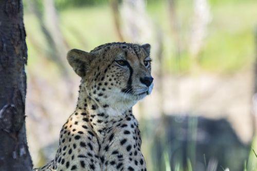 Gepardas, kačių, pastebėtas, gyvūnas, pavojingas, žinduolis, įdomu, katė, laukinis & nbsp, gyvūnas, mėsėdis, žino, budrus, Gepardas