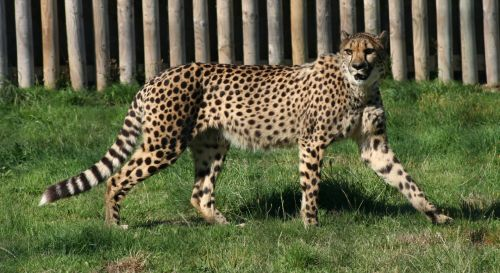 Gepardas, vaikščioti, kačių, didelis & nbsp, katinas, laukinė gamta, gamta, viešasis & nbsp, domenas, fonas, tapetai, laukinė gamta & nbsp, parkas, gaubtas, mėsėdis, greitas, greitai, greitas, dėmės, pastebėtas, žiūri, portretas, lauke, Gepardas