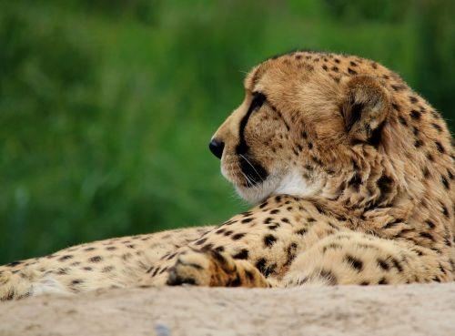 Gepardas,katė,gyvūnas,laukinė gamta,gamta,laukiniai,plėšrūnas,žinduolis,afrika,medžiotojas,didelis,kačių,mėsėdis,acinonyx,safari,portretas,gepardas,leopardo cazador,4dogarts,savana,išsaugojimas,greitis,pietus,atsipalaidavęs
