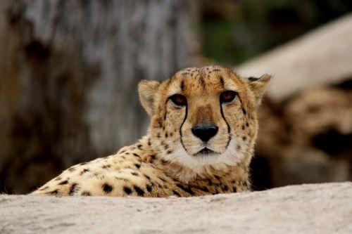 Gepardas,katė,laukinė gamta,plėšrūnas,žinduolis,afrika,didelis,kačių,mėsėdis,gamta,gyvūnas,portretas,greitai,laukiniai,medžiotojas,pavojingas,gepardas,leopardo cazador,4dogarts,biologija,parkas,žiūri,nykstantis,egzotiškas,fauna,akys,veidas