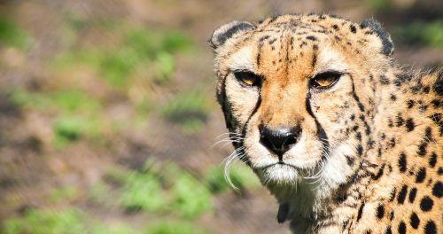Gepardas, kačių, didelė katė, žvėrys, gyvūnas, acinonyx jubatus, dėmėtojo gepardas, savana, gamta, portretas, katė, plėšrūnas, žinduolis, bėgimas
