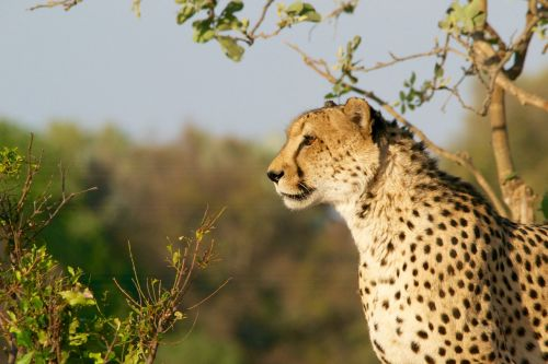Gepardas,medžioklė-leopardas,laukinė gamta,gyvūnas,katė,medžioklė,afrika,gamta,kačių,safari,plėšrūnas,zoologijos sodas,kailis,kamufliažas,pavojingas,medžiotojas,pastebėtas,savana
