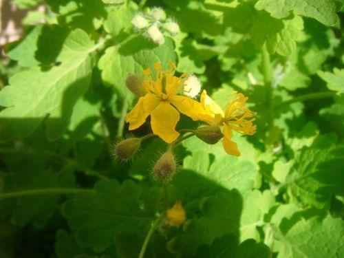 žiedlapis, žiedlapiai, sepal, sepals, umbel, žiedynas, gėlė, pavasaris, makro, priartinti, chelidonium, majus, celandine, didesnis, tvirtovė, nipplewort, nurijimas, žolė, chelidonium gėlė