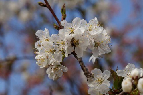 obuolių žiedas,bičių,pavasaris,filialas,medis,žiedas,žydėti,baltas žiedas