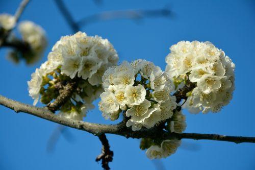 vyšnia,gėlė,pavasaris,gamta,sprigas