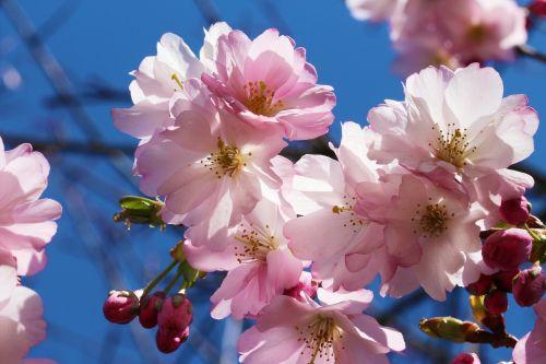 vyšnia,prunus,vyšnių žiedas,gėlės,rosaceae,japonų vyšnios,prunus serrulata,žydėjimo šakelė,filialas,medis,raudona,rožinis,pavasaris,dažymas,japonų žydinčių vyšnių,gamta,mėlynas dangus