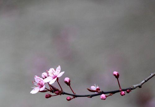 vyšnia,žiedas,žydėti,medis,raudona,vyšnių žiedas,baltas žiedas,gamta,balta,sodas,filialas,nesubrendusio,rožinis,vasara