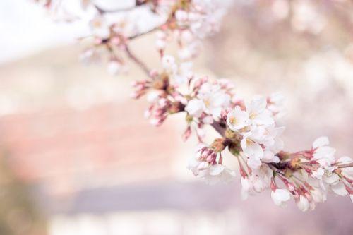 vyšnių žiedas,Sakura,gėlė,medis,vyšnia,žiedas,prunus,prunus serrulata,serrulata,rožinis,žydėti,gamta,filialas,augalas,gėlių,pavasaris,žydėjimas,gamtos fonas