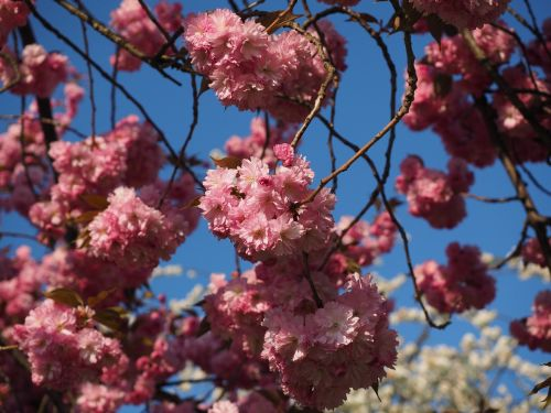 vyšnių žiedas,japonų vyšnios,kvapas,žiedas,žydėti,japonų žydinčių vyšnių,ornamentinis vyšnia,pavasaris,rožinis,žydėti,prunus serrulata,japonų vyšnios,dekoratyvinis augalas,rytietiška vyšninė,Rytų Azijos vyšnia,Grannenkirsche,prunus,rožių šeimos,rosaceae,žydėjimo šakelė,filialas,medis,budas,yoshino-vyšnios,yoshino,vyšnia,japonų kultūra,japanese,tradicija