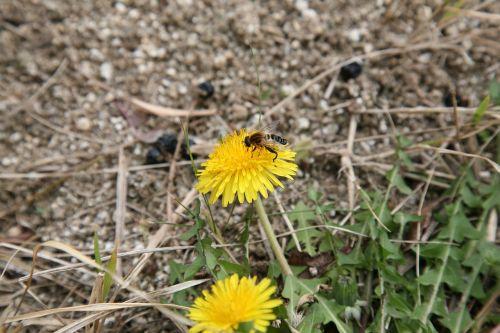 kkotdeunge,paris,bičių,pavasaris,gamta,augalai,gėlės,pavasario gėlės,parkas,geltona,vabzdžiai