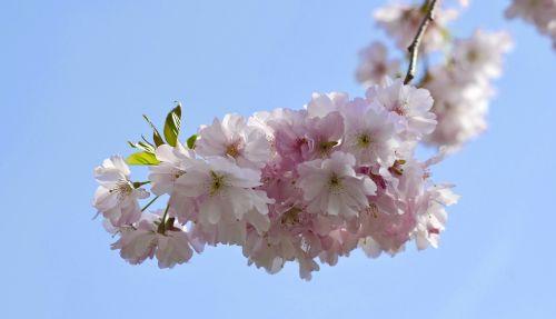 vyšnių žiedas,pavasaris,žiedas,žydėti,žiedas,rožinis,balta,vyšnia,sodas,baltas žiedas,žydėti,dangus,medis