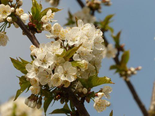 vyšnių žiedas,pavasaris,vyšnia,žiedas,baltas žiedas,medis,filialai,žiedas,žydėti,balta,žiedlapiai,Uždaryti