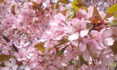 vyšnių žiedas,gėlės,rožinės gėlės,gėlė,vasara,pavasaris,augalai,augalas,žydėjimas,Švedija,Švedijos vasara,gražiai,gražus vyšnių žiedas,medis,Švedijos,gamta,parkas,rožinis