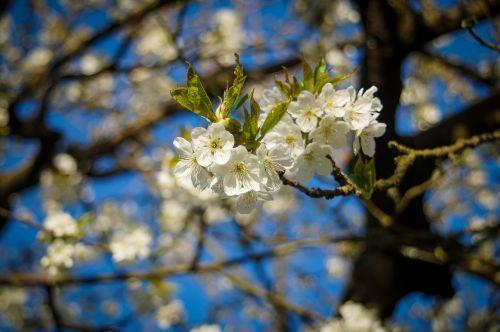 vyšnių žiedas,filialas,žiedas,žydėti,pavasaris,gamta,baltas žiedas