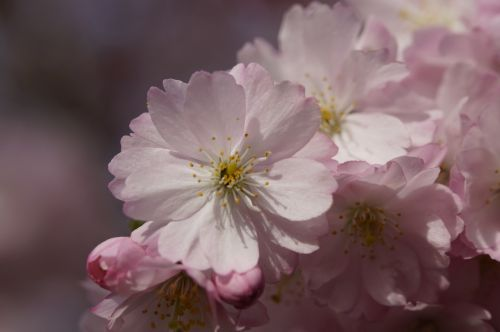 vyšnių žiedas,žiedas,žydėti,pavasaris,žiedas,Uždaryti,rožinis,švelnus,ornamentinis vyšnia