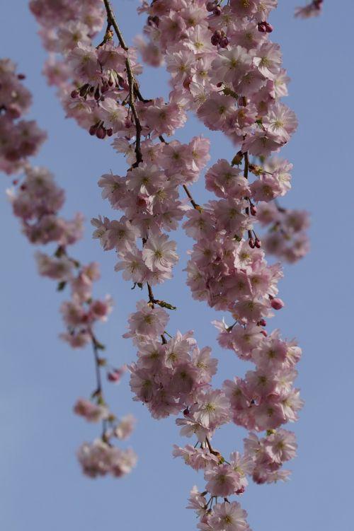 vyšnių žiedas,žiedas,žydėti,pavasaris,žiedas,rožinis,švelnus,ornamentinis vyšnia,gėlės,dangus,mėlynas,Herlichas,žiedynas,žiedų šakos,žydėjo,žydėti
