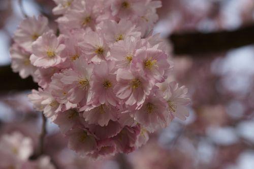 vyšnių žiedas,žiedas,žydėti,pavasaris,žiedas,Uždaryti,rožinis,švelnus,ornamentinis vyšnia,gėlės,japonų vyšnios,žydėti,blütenmeer,pavasario pabudimas,žydėjimo šakelė