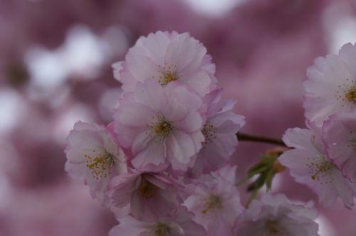 vyšnių žiedas,žiedas,žydėti,pavasaris,žiedas,Uždaryti,rožinis,švelnus,ornamentinis vyšnia,gėlės,žydėjimo šakelė,blütenmeer,žydėti,medis,pavasario pabudimas,žiedynas