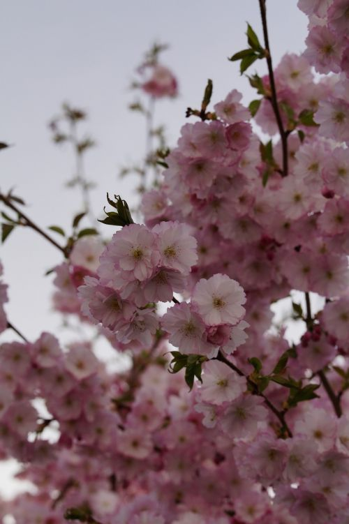 vyšnių žiedas,žiedas,žydėti,pavasaris,žiedas,rožinis,švelnus,ornamentinis vyšnia,gėlės,žydėjimo šakelė,blütenmeer,žydėti,medis,pavasario pabudimas,žiedynas,dangus