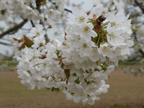 vyšnių žiedas,pavasaris,baltas žiedas,vyšnia,žiedas,gėlės,žydėjimo šakelė,pavasario pabudimas,medžiai,vyšnių žiedų,žydėti,rožinis,blütenmeer,žiedynas,gamta