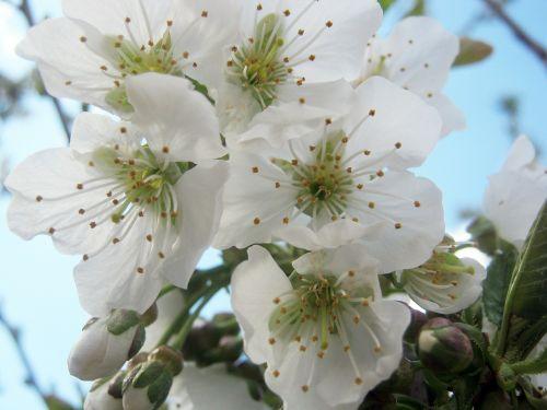 vyšnių žiedas,pavasaris,žiedas,žydėti,žiedas,žydėti,Velykos,medžių genėjimas,sodas,sodininkai,žalias,vaismedžių žydėjimas
