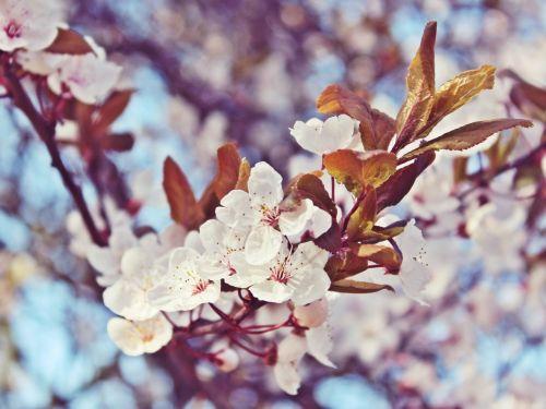 vyšnių žiedų,gėlės,medis,balta,pavasaris,rožinis,vyšnia,gamta,baltas žiedas,žydėti,augalas,japonų vyšnių žiedai,japonų vyšnios,japonų vyšnios,vasara,Uždaryti,sodas,nuotaika,harmonija