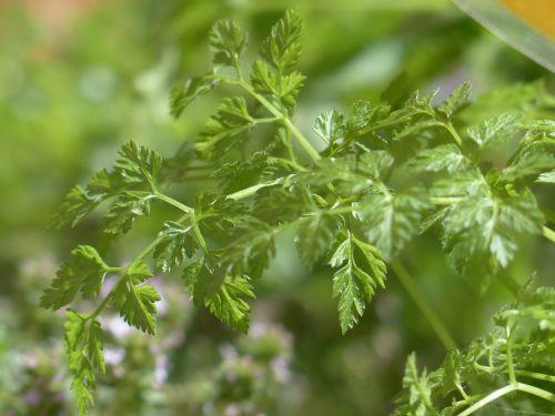Chervilas,virtuvės žolelių,žolė,lapai,stiebas,augalas,anthriscus cerefolium,umbelliferae,apiaceae,sriuba,prieskoniai,virtuvės prieskoniai,vaistinis augalas,sodo augalas,sodo žolės,sodo prieskonių augalas