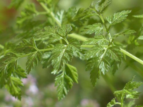 Chervilas,žolė,virtuvės žolelių,lapai,stiebas,augalas,anthriscus cerefolium,umbelliferae,apiaceae,sriuba,prieskoniai,virtuvės prieskoniai,vaistinis augalas,sodo augalas,sodo žolės,sodo prieskonių augalas