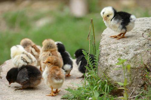 viščiukas,vištiena,juos,naminiai paukščiai,paukštis,gyvūnas,jaunas,mažas,ūkis,kiaušinis,subraižyti