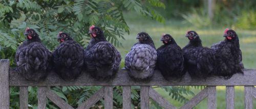 vištiena,višta,paukštis,ūkis,gyvūnas,naminiai paukščiai,Žemdirbystė,vidaus,gyvuliai,gamta,kaimas,kiemas,plumėjimas