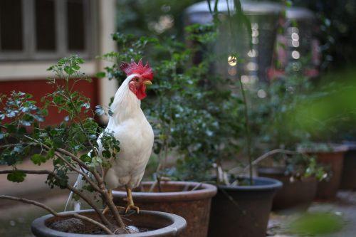 vištiena,balta,naminiai paukščiai,Gaidys,naminiai paukščiai,gyvūnai,vištienos užpakalis