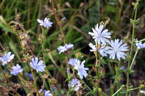 cikorija,gėlė,natūrali medicina,gėlės,lauko gėlės,pieva,augalas,naudinga,žydėti,laukas,gamta,žiedlapiai,Rusija,paprastoji trūkažolė,augalai,vasaros gėlės,laukinė gėlė,gražus,makro,laukiniai,mėlynas,laukinės žolelės,šviesus,laukinės gėlės,vasara,ekologiškas,saulėta diena,tuti,žiedlapis