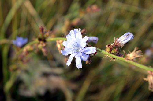 cikorija,gėlė,augalas,gėlės,lauko gėlės,pieva,naudinga,žydėti,laukas,gamta,žiedlapiai,Rusija,paprastoji trūkažolė,augalai,vasaros gėlės,laukinė gėlė,gražus,makro,laukiniai,mėlynas,laukinės žolelės,šviesus,laukinės gėlės,vasara,ekologiškas,natūrali medicina,saulėta diena,tuti,žiedlapis