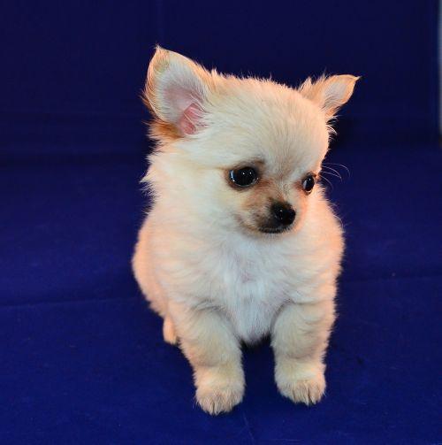 chihuahua,šuniukas,saldus,mažas šuo,mažas,gyvūnas,naminis gyvūnėlis,šunys,nuostabus,chihuahuas,šuo,žavinga,mažas,augintiniai,jaunas,minkštas