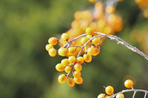 gamta, augalai, medžiai, chinaberry, uogos, permatomas, geltona, auksas, muilas, žalias, Bokeh, auksas & nbsp, bokeh, žalia & nbsp, bokeh, fonas, ruduo, kritimas, chinaberries ir bokeh