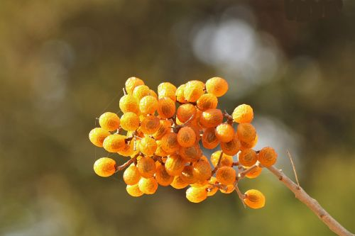 gamta, augalai, medžiai, uogos, chinaberries, permatomas, geltona, auksas, ruduo, kritimas, Iš arti, auksas & nbsp, bokeh, žalia & nbsp, bokeh, bokeh & nbsp, fonas, muilas, chinaberries close-up