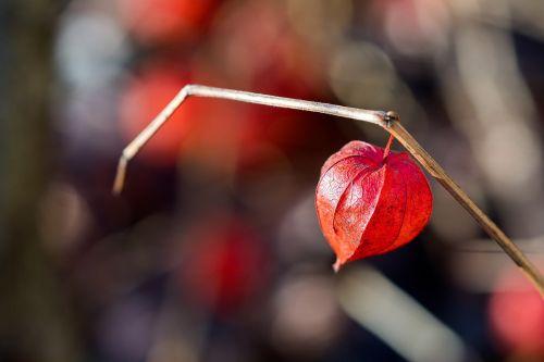 Kinijos žibinto augalas,raudona,gražus,kabantis,širdis,meilė,vienas,Brunch,pavasaris,Bokeh,auga,sausas,žibintas,augalas,vaisiai,ruduo,apdaila,gamta,ekologiškas,lapai