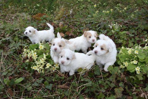 Pet & nbsp, šuo, naminis gyvūnėlis, kotonas & nbsp, & nbsp, gaisaras, gražus, širdis, švelnus, šuniukas, naminių šuo, naminis gyvūnėlis