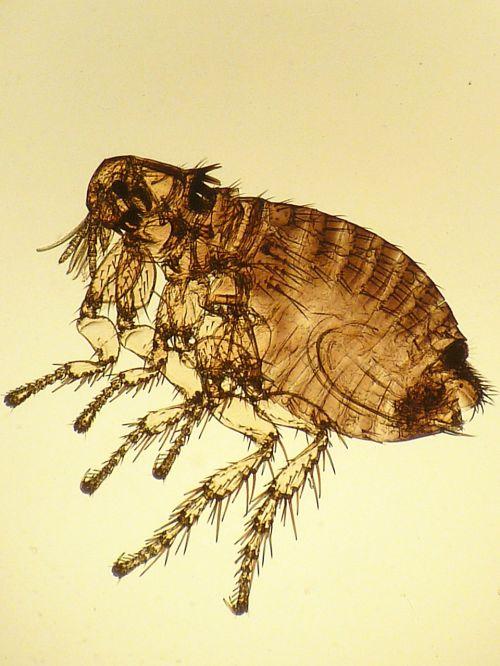 lustas,triušių parazitas,vabzdys