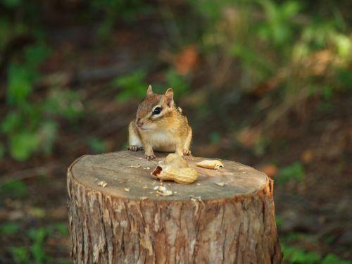 burundukas, mielas, gamta, miškai, burundukas
