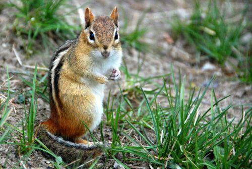 burundukas,gyvūnas,gamta,laukinė gamta,žinduolis,mažas,pūkuotas,mielas,graužikas,žolė,pavasaris,rytinė burundukas,žavinga,įdomu,žiūri