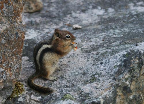 burundukas, žemės voverė, graužikas, valgymas, voverė, voverė, gyvūnas, Nacionalinis parkas