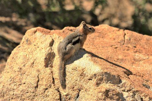 gamta, laukinė gamta, gyvūnai, graužikai, burundukas, Rokas, sėdi, Estes & nbsp, parkas, Colorado, burundukas ant uolos