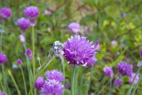 Dantų česnakų, Nepamiršk manęs, forget-me-not miškas, violetinės gėlės, pusryčiai, forget-me-beturčiai, mėlyna, dekoratyvinis, žolės, Sodas, augalų, gėlė, mažos gėlės, pavasaris, gėlės, bendros gėlės, mėlynos gėlės, violetinė, pieva