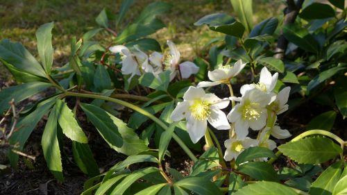 Kalėdų rožė, augalas, gamta, sodas, žalias, balta, Anemone blanda, gėlės, rūšis, winterblueher, lapai, augalų grupė, lova