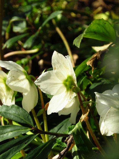 Kalėdų rožė,Anemone blanda,gėlė,žiedas,žydėti,augalas,balta,helleborus niger,Hellebore,pavasario rožės,vaistinis augalas,nuodingas augalas,toksiškas,laukinės gėlės,ankstyvas bloomer,žiema,winterblueher