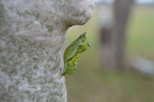 Chrysalis,kokonas,vabzdys,drugelis,transformuoti,keisti,padaras,gamta,metamorfozė,pupa,metamorfozė,transmutacija,augimas,žalias,transmutuoti,entomologija