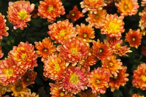 chrizantema,gėlė,žiedas,žydėti,aster,gamta,vasara,augalas,laukinė gėlė,aštraus gėlė,flora,žydėti,sodas,geltonos gėlės,geltona gėlė,geltona,saulės gėlė
