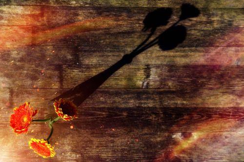 chrizantema, gėlė, žiedas, žydėti, kompozitai, augalas, gamta, žydėti, vazos, butelis, stiklas, šviesa, šešėlis, saulės šviesa, saulė, be honoraro mokesčio
